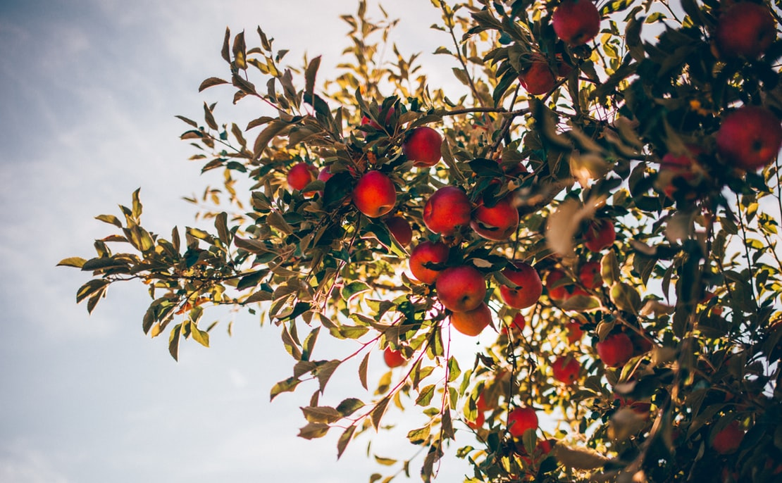 Apples on a tree.
